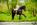 cheval-piaffé-frison-robe-mariée-photographe-equin-alsace-chatenois-thomasstoehr-bas-rhin